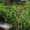 garden using top soil